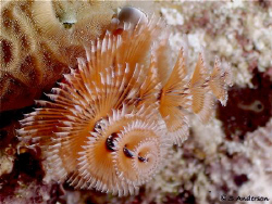 This Christmas Tree Worm was my last photo before heading... by Steven Anderson 